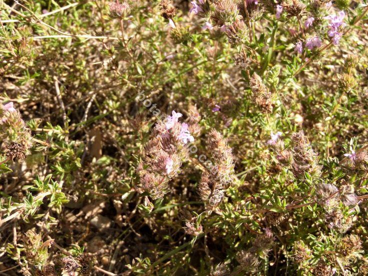 Wild thyme flowering period, May. Άγριο θυμάρι, Μαραθώνας