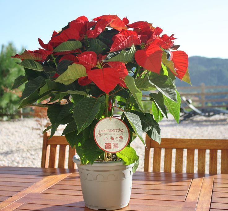 #decor #diy #poinsettia #poinsettiasflower, #poinsettiashome #christmaspoinsettias #poinsettiaplant