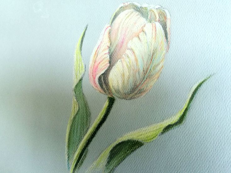 Tulip drawing in Pastel Pencil by Lineke-Lijn