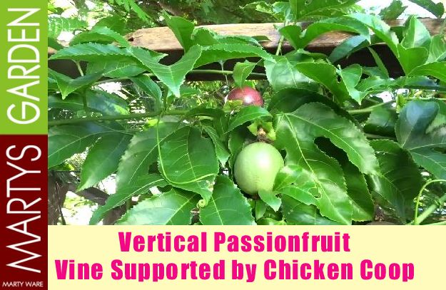 Vertical Passionfruit Vine Supported by Chicken Coop