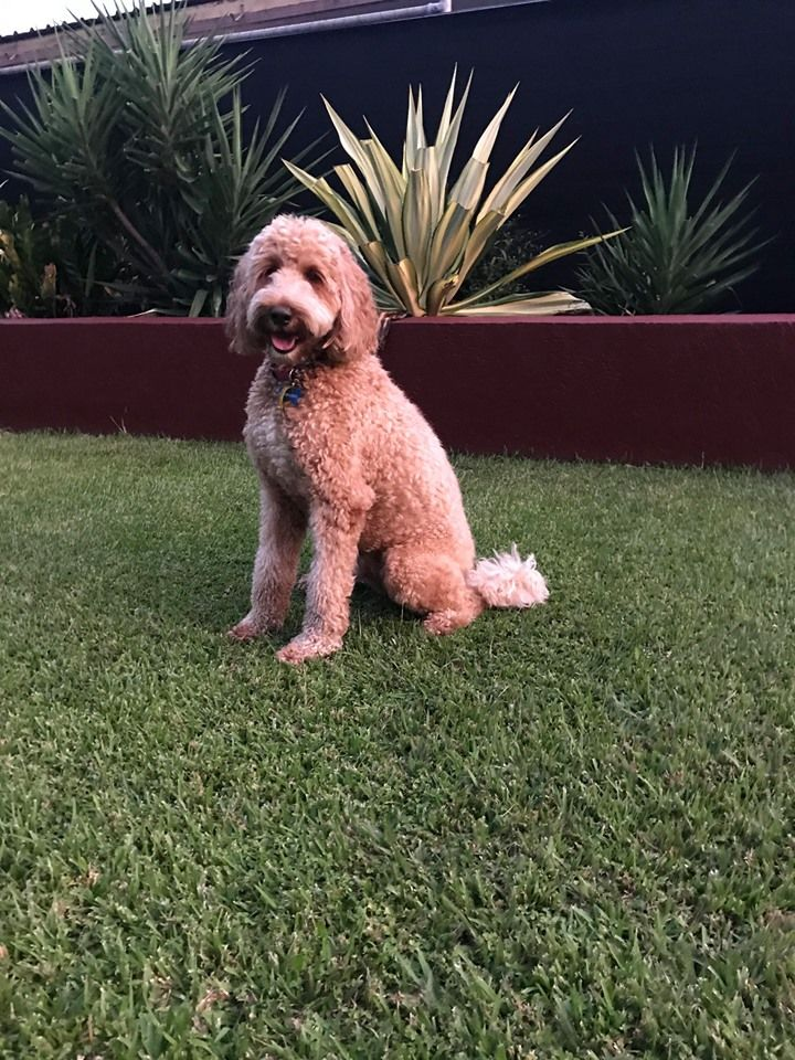 Cockapoo Puppies For Sale In Melbourne