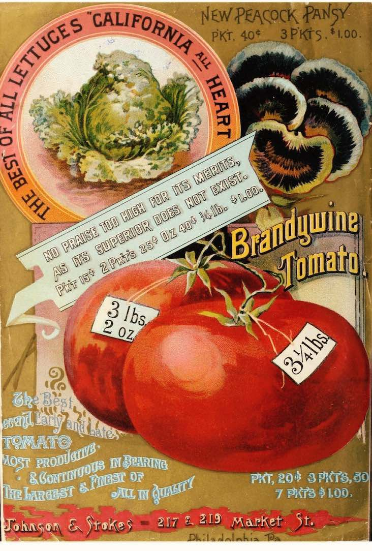 Brandywine tomato illustration from the seed catalog of Johnson & Stokes (1890)