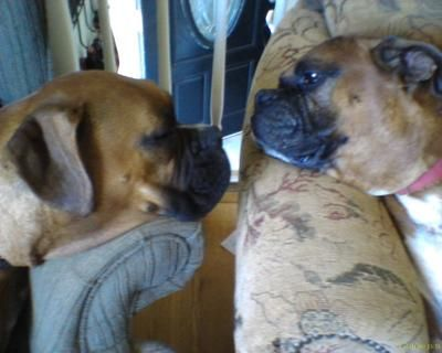 Boxer Dogs| Boxer Dog Breed Info & Pictures | petMD