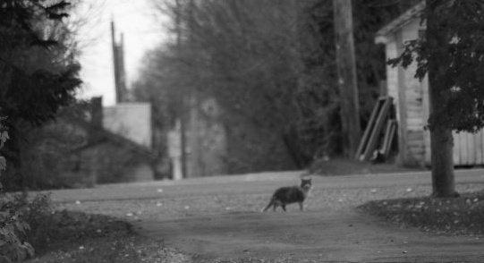 B&W alley cat in Elnora Alberta