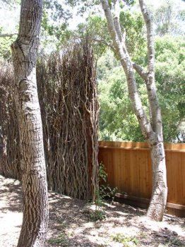 17 10 foot curly willow fence with wild top
