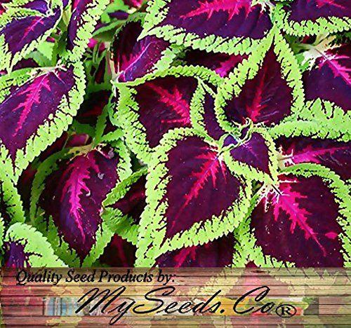 Coleus Plant Care - Color In Shade -