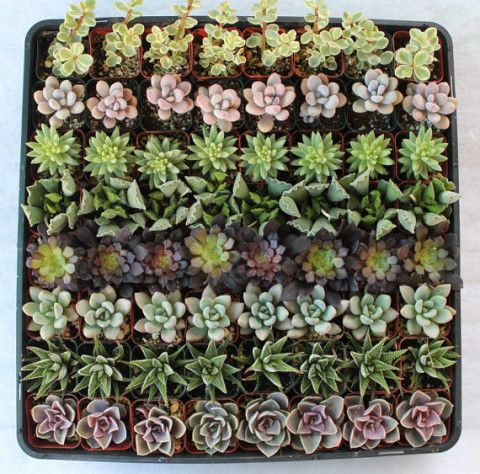 50 Fun & Funky Succulents  Wedding Party Gift Favors in their plastic 2 inch Pots collection sempervivums rosettes