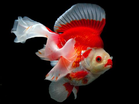 1- Calico goldfish B / T (calico goldfish B / T)