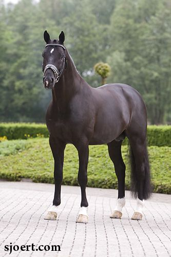Mooreland's Totilas is considered to be one of the most outstanding competitive dressage horses in the world, the first horse to score above 90 in dressage competition