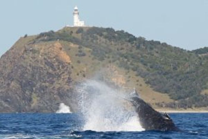Humpback whale off Byron Bay