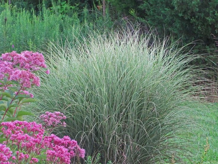 37 best images about growing grass on pinterest for Blue ornamental grass varieties