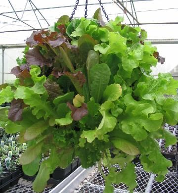 Brilliant! Lettuce grown in a hanging basket for a round ball of edible goodies.