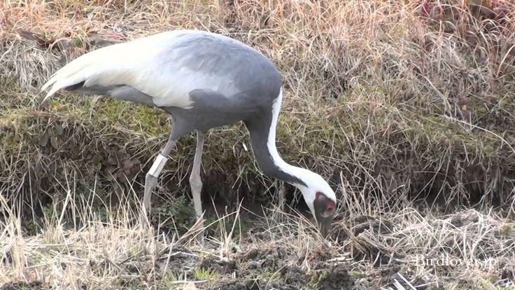 マナヅル White-neped Crane 2/2