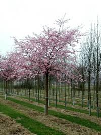 Prunus 'Accolade' (Sierkers), kleine boom, groeit breed, schilderachtige verschijning, mooie geel oranje herfstkleur, geen vruchten