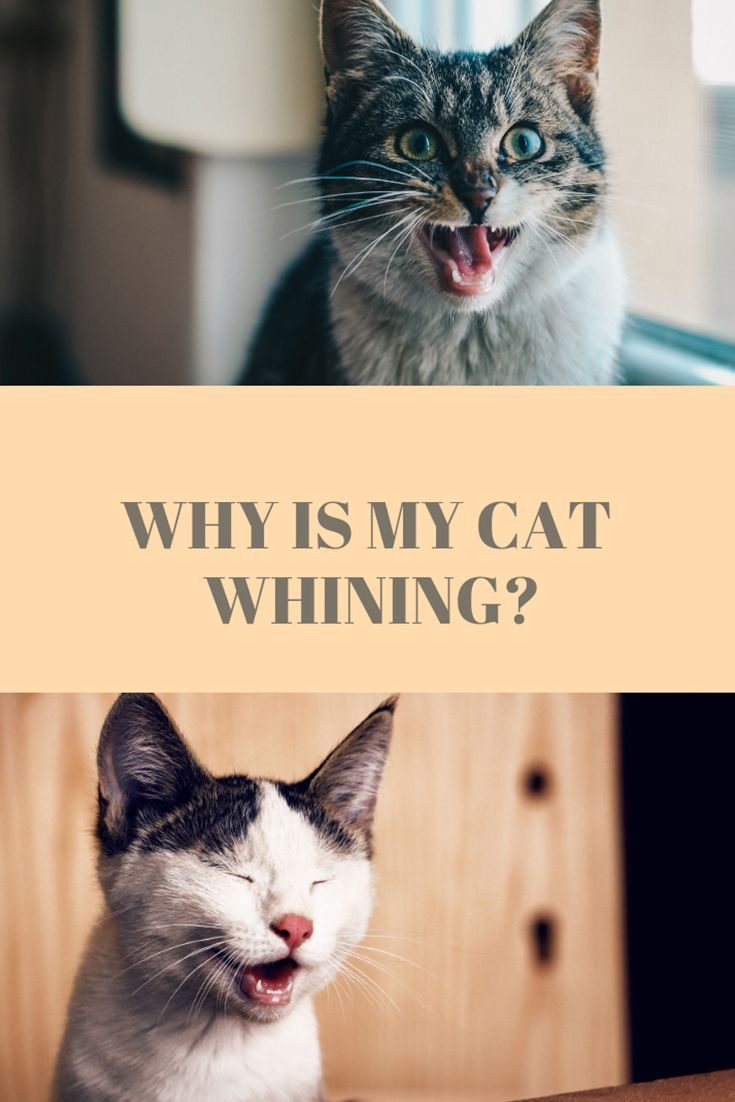 Cat Excessive Meowing And Yowling Why Cats Meow Cat Training