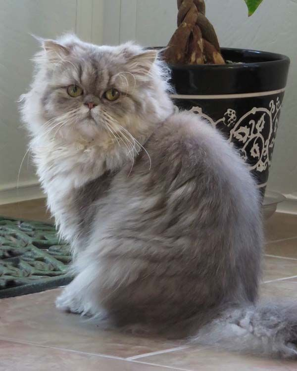 A Rare Blue Golden Shaded Silver Persian From Mythicbells