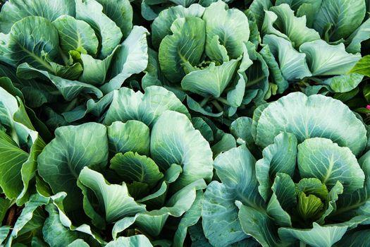 ブロッコリーやキャベツ、カリフラワーなど、身近な野菜の原種でもあるケール。その歴史は古く、およそ4500年前に地中海沿岸で誕生したといわれています。暑さや寒さに強いことから世界中で栽培されるようになり、生命力の高い野菜として愛されてきました。  空に向かって大きく葉を広げて成長するのも、ケールの特徴のひとつ。太陽の恵みを十分に受けて育った葉は、分厚く、葉緑素がたっぷり。味も濃く、さまざまな栄養がバランスよく含まれています。  とくにビタミンB1やB2、ビタミンCなどのビタミン類が豊富で、なかでもβ-カロテンは、トマトの約5倍。  また野菜には珍しいカルシウムも、牛乳の約2倍の量が含まれています。さらに、食物繊維がレタスの約3倍あるほか、鉄や葉酸なども多く含まれています