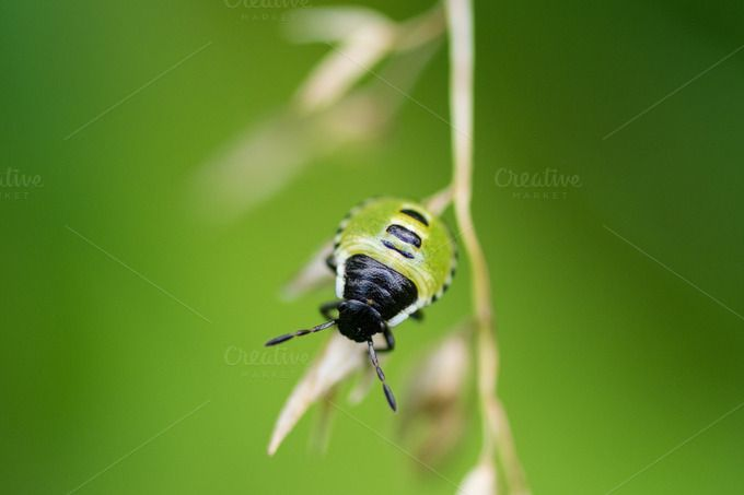 Check out Green Shield Bug by Eddie on Creative Market