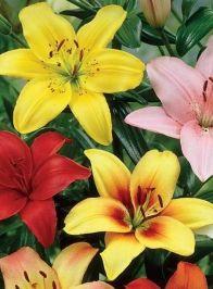 Купить азиатские лилии в интернет магазине