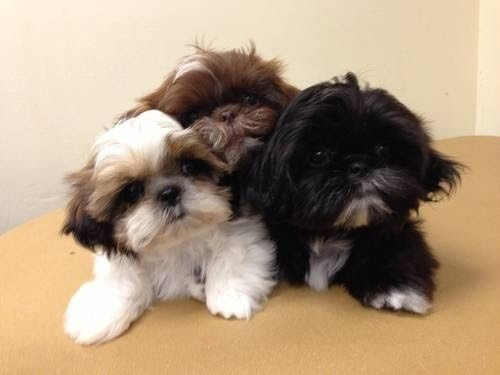 buying shih tzu puppy litter size of shih tzu dogs click the picture to read 7414