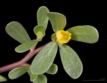 Portulaca oleracea - Wikipedia, the free encyclopedia