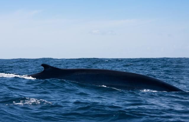 10 Largest Sea Creatures: Fin Whale
