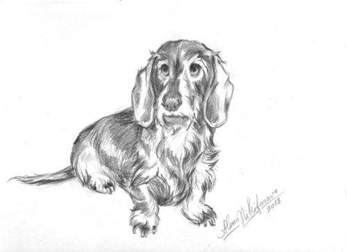 Dogs Drawings Dachshund Sketch Dogs Wire Hairs