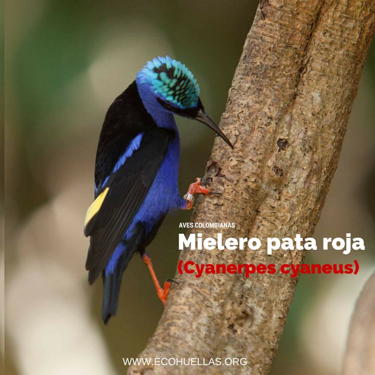 Mielero pata roja.    David Osorio L & Rafael Rincón  Aviario Nacional De Colombia #EcoHuellas #EcoCielo #AvesColombianas