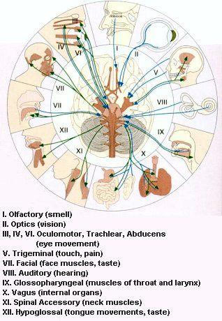 pediatrics cranial nerve examination essay