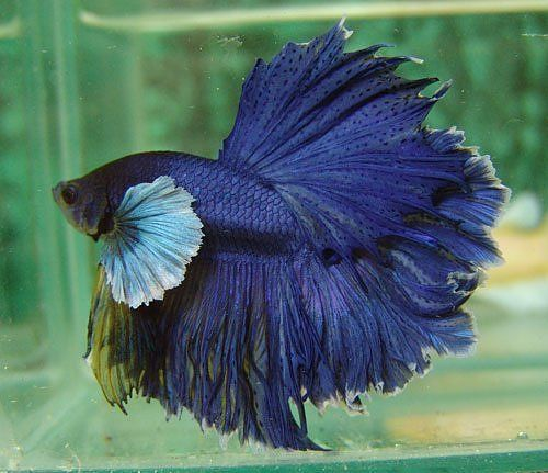 Big ear dark blue feathertail fancy bettas pinterest for Big betta fish