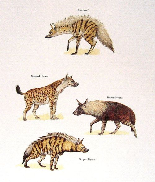 The Aardwolf (Proteles cristata), Spotten Hyena (Crocuta crocuta), Brown Hyena (Hyaena brunnea) and Striped Hyena (Hyaena hyaena)
