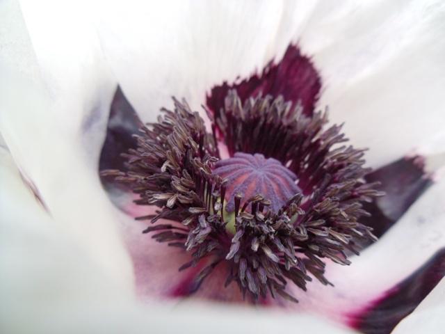 Home Jules: Poppy 'Oriental Royal Wedding'