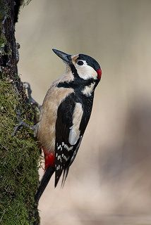 Great Spotted Woodpecker, Norway | by janmangorfagerland
