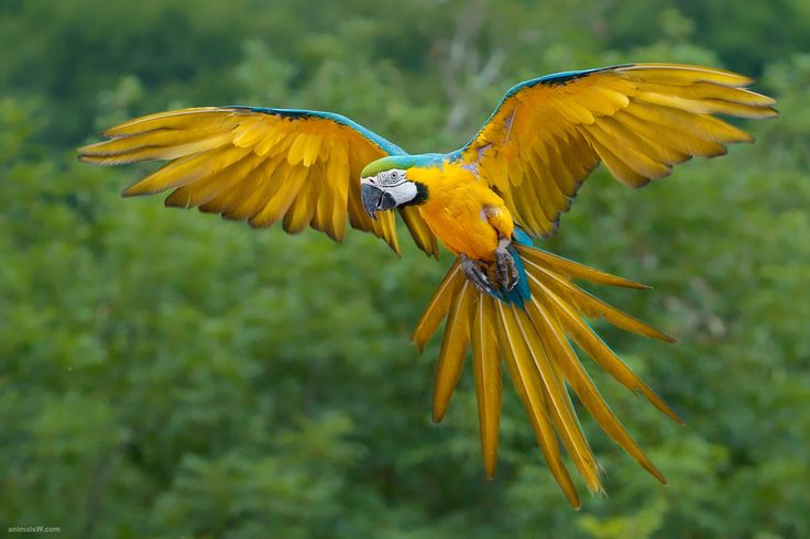Yellow Birds | Blue and Yellow Macaw Bird Flying #Yellow #Birds