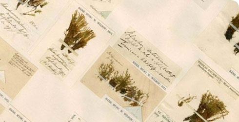 Herbarium sheet with numerous specimens of the moss Splachnum