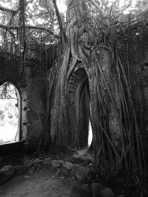 Australian ficus tree took over the house from once upon a time.