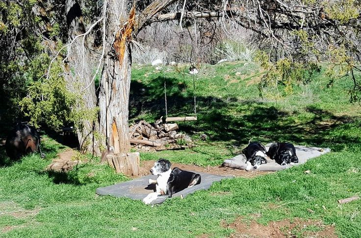 Three mantle Great Danes... on the grass in their yard Spring 2017