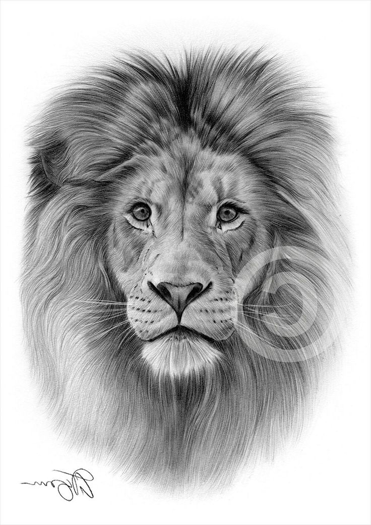 Pin By Pinfire On Art Lion Drawing Pencil Drawings