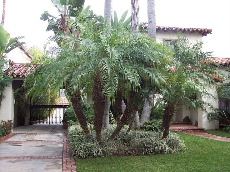 robolini palm pictures | ... size picture of Pygmy Date Palm, Robellini Palm ( Phoenix roebelenii