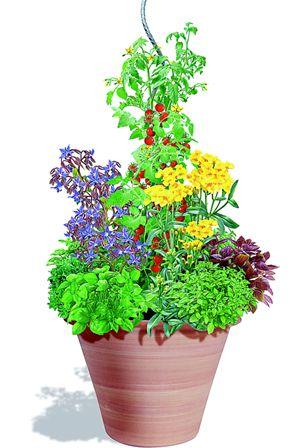 Dans un pot de 30 cm de diamètre, mélangez 2/3 de terreau pour potager à 1/3 de sable et une poignée de compost. Au milieu, plantez un pied de tomate cerise, soutenu par un tuteur. Plantez de la bourrache qui va attirer les insectes pollinisateurs, indispensables pour le bon développement des fleurs de tomates et des tagetes qui vont stopper les vers mangeurs de racines. Tout autour du pot, pourquoi ne pas planter plusieurs variétés de basilic pour varier les goûts et les couleurs.