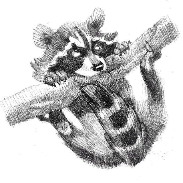 pencil study before designing a character  #raccoon #procione #sketch #illustration #art #drawing #animal #disegno #illustrazione #matita #sketchbook #animale #characterdesign