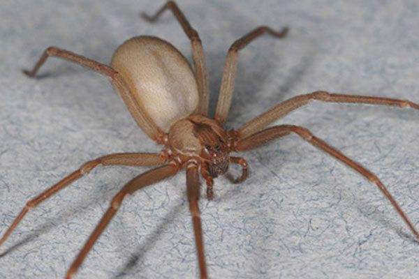 Brown Recluse Spider... Venomous brown recluses exist within a smaller range than many realize, and their existence may be threatened by climate change.