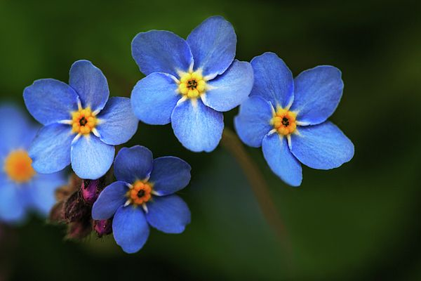 Wild flower forget-me-not since the middle Ages symbolizes the celestial eye and reminds you of God by George Westermak  # George Westermak#Flowers#FineArtPfotography#ArtHomeDekor