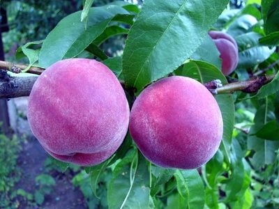 The Best Fruit Trees For The Houston Area Thumbnail