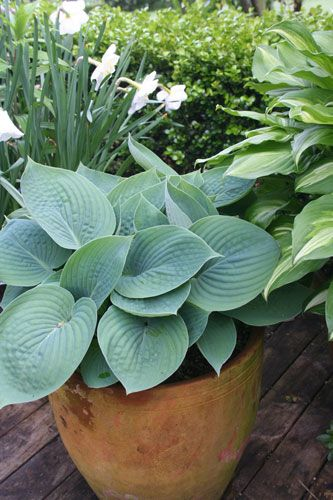 Dr. Dan's Garden Tips: Perennials in a Pot (potted Hosta)
