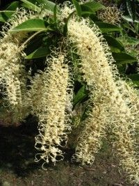 Ivory Curl Flower. Superb Australian native tree growing to 6m in cultivation. Interesting greenish yellow foliage with red tips is covered with 20cm long cream white blooms in summer. It is absolutely spectacular in full bloom and makes an excellent specimen tree.