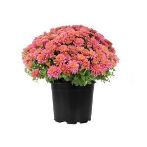 Recently Added Plants Garden Flowers Garden Center The Home Depot In 2020 Plants Chrysanthemum Plant Perennials
