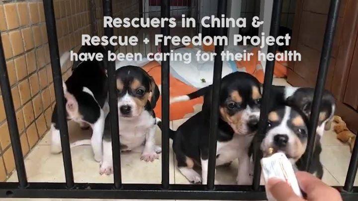 40 Beagles Saved From Lab Testing Beagle Cute Beagles Animal