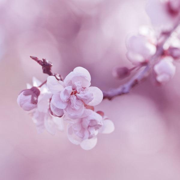 8x8 Fine art photography print - spring pastel botanical pink fine art photograph print photo - Cotton Candy clickety. $22.00, via Etsy.