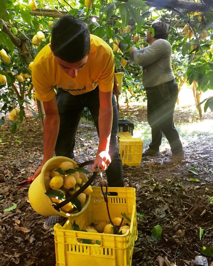 #harvest of #lemons .... #organic #Amalfi #Lemon ☀️ #amalfilemon #lemonmind #whenlemongivesyoulife #amalficoast_ #rurallife #lemontour #experience #truelife #follow4follow #followme #picoftheday #family #farm #farmlife